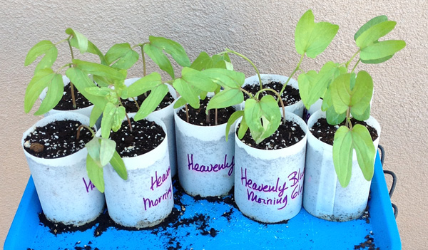 Morning Glory seedlings in Sheer Heaven pots.